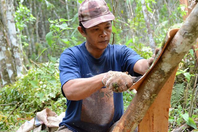 Für die Ernte von Zimt wird die äußere Schicht der Rinde vom Baum abgeschält. - Foto: djd/Rainforest Alliance